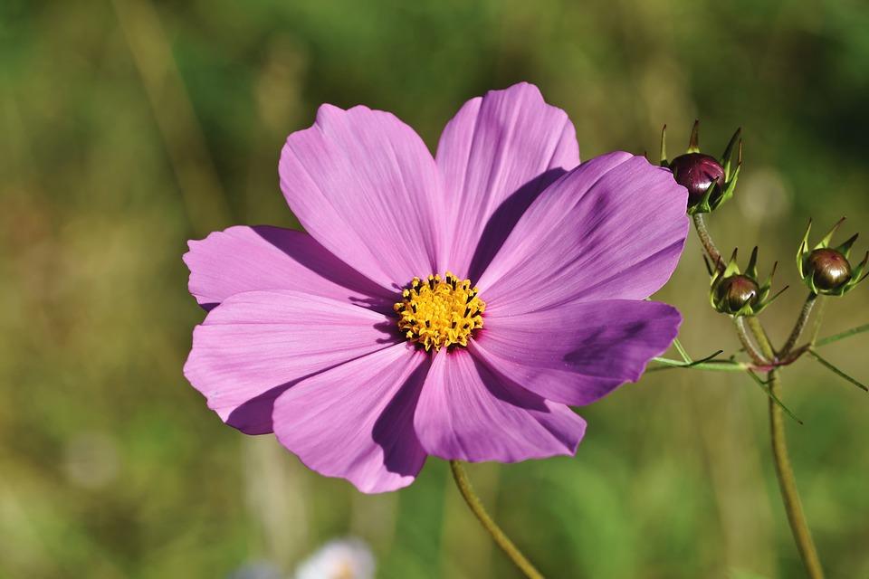 Cosmea, Jewelry Basket, Flower, Garden Cosmos, Blossom