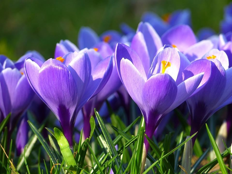Crocus, Blossom, Bloom, Flower, Spring, Purple