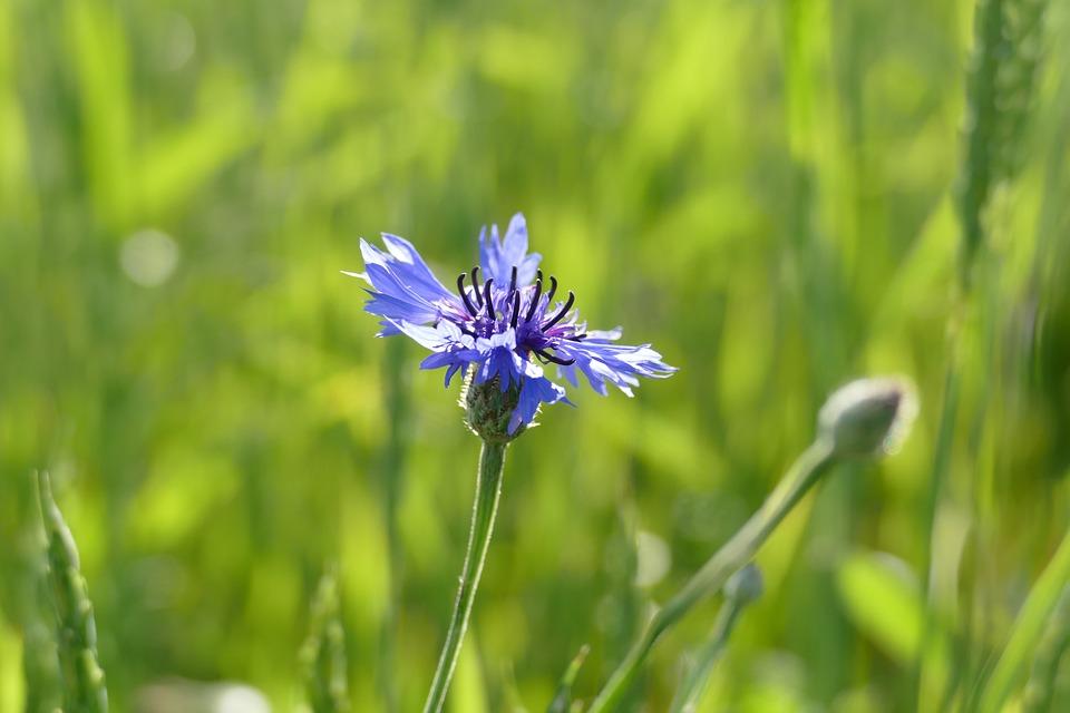 Cornflower, Cyanus Segetum, Blossom, Bloom, Background
