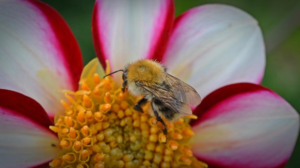Dahlia, Hummel, Blossom, Bloom, Flower, Red
