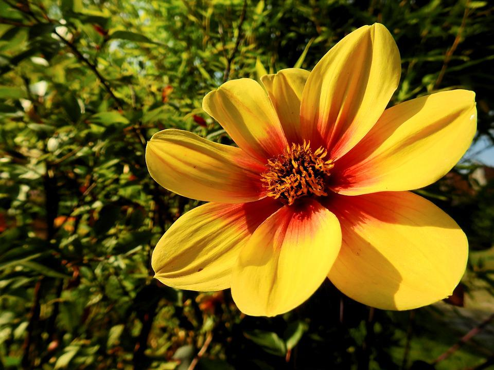 Flower, Blossom, Bloom, Plant, Nature, Yellow, Dahlia