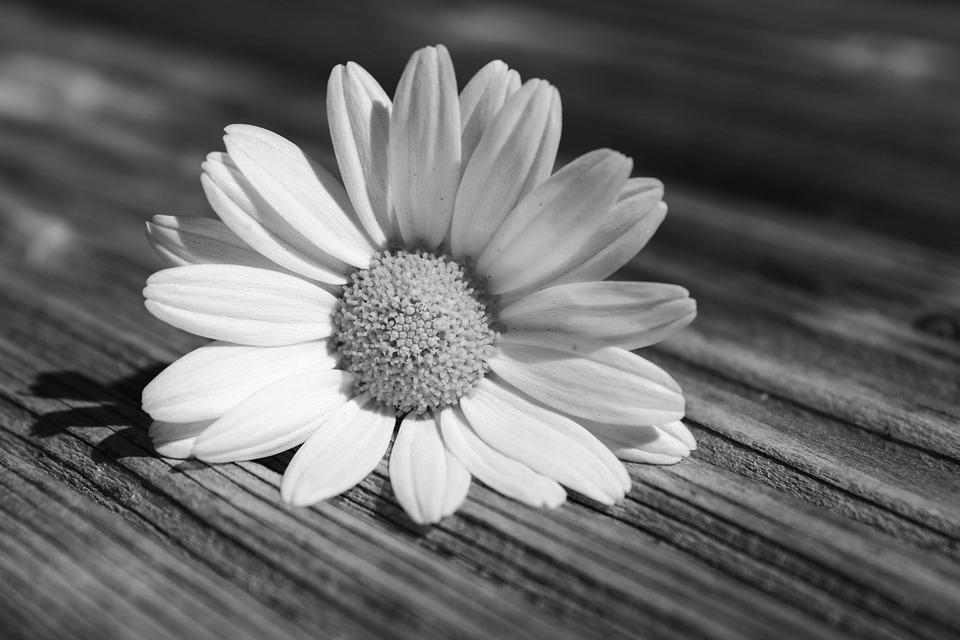 Daisy, Flower, Feeling, Blossom, Nature, White, Plant