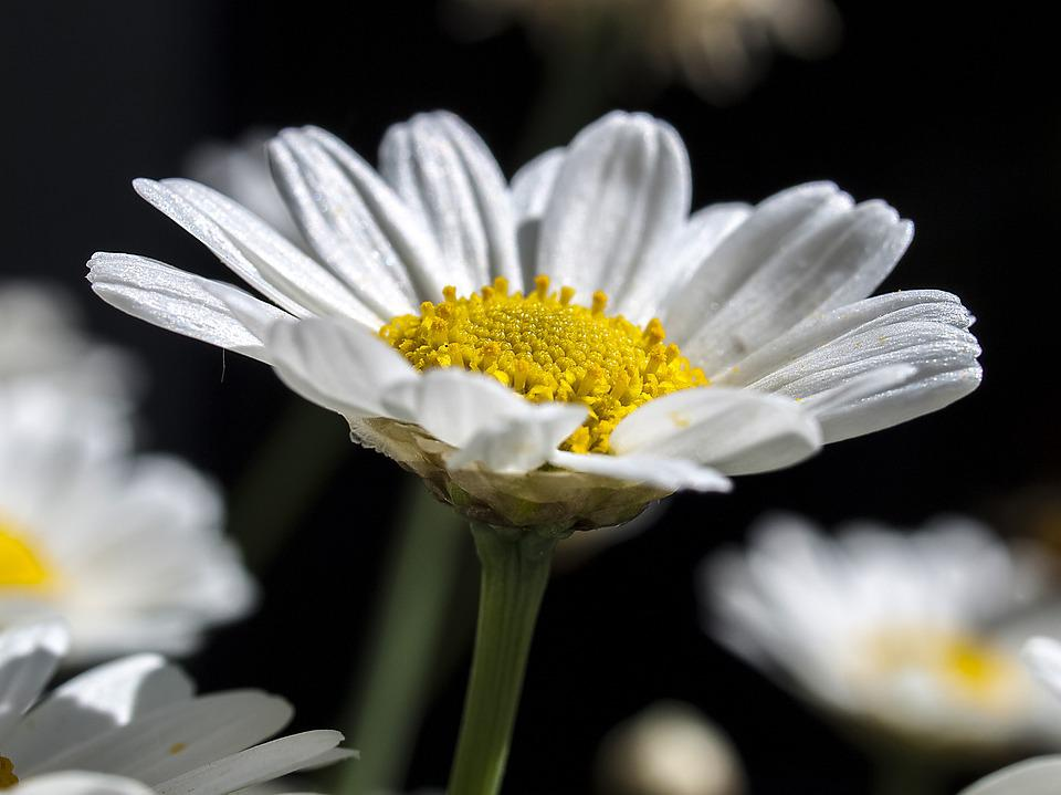 essay on daisy flower Free daisy miller papers, essays, and research papers.