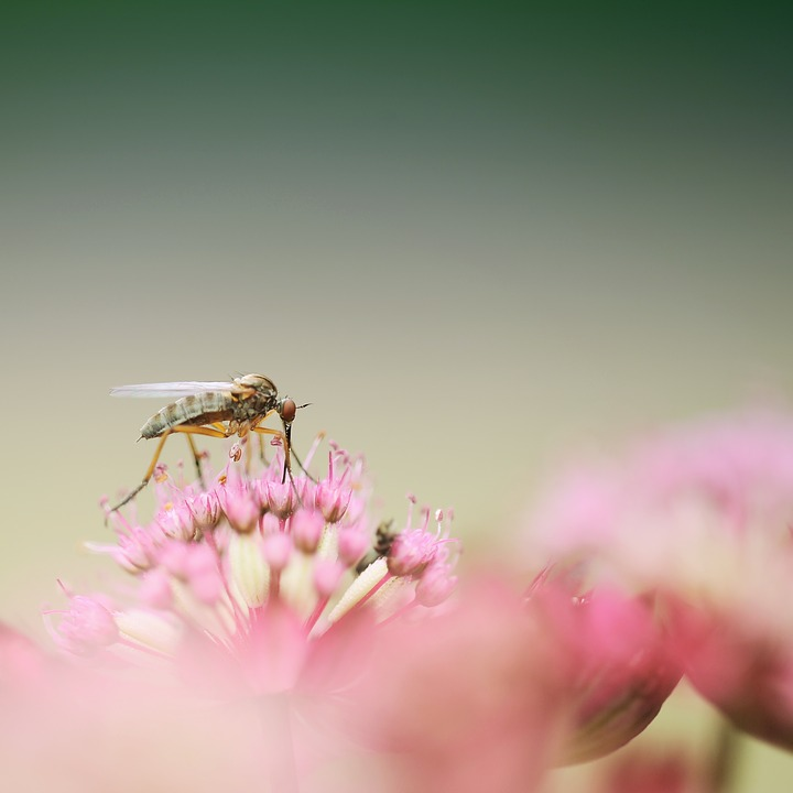Dance Fly, Insect, Macro, Close, Blossom, Bloom, Nature