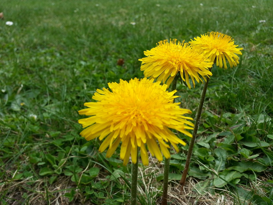 Dandelion, Blossom, Bloom, Plant, Summer, Yellow