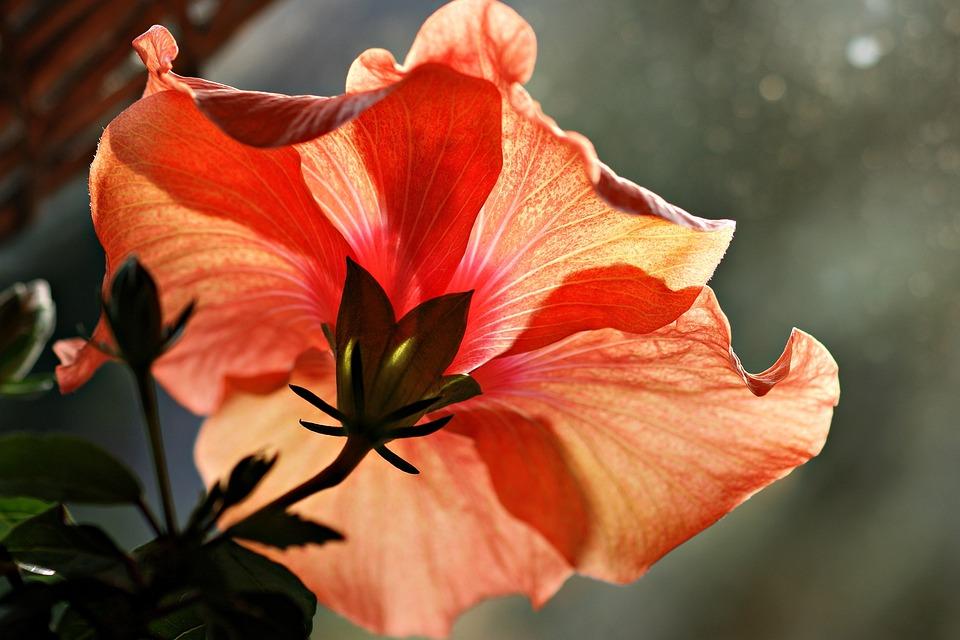 Hibiscus, Indoor Plant, Flower, Exotic, Blossom, Nature