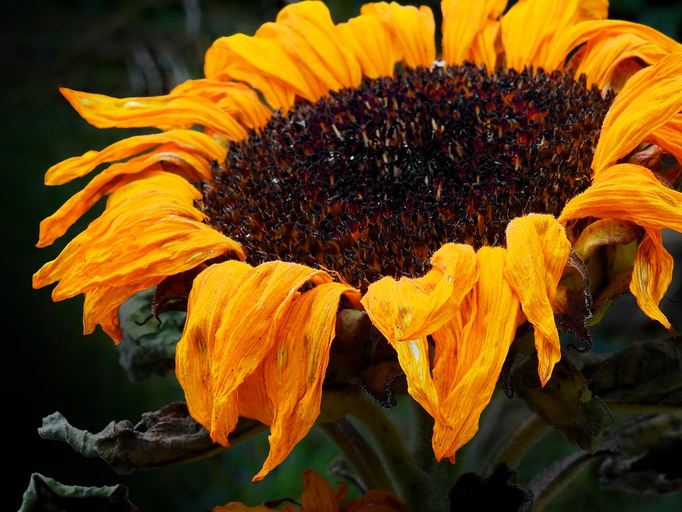 Sun Flower, Flower, Blossom, Bloom, Faded, Withered