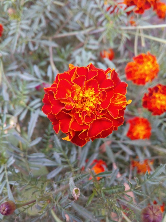 Marigold, Flora, Flower, Blossom, Garden, Yellow, Bloom