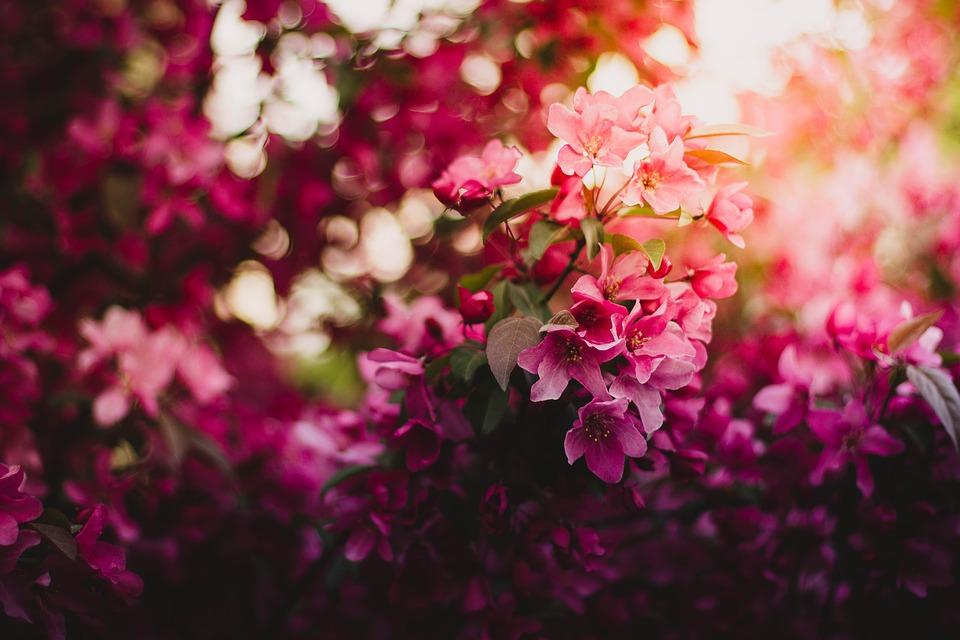 Bloom, Blossom, Flora, Flowers, Nature, Pink