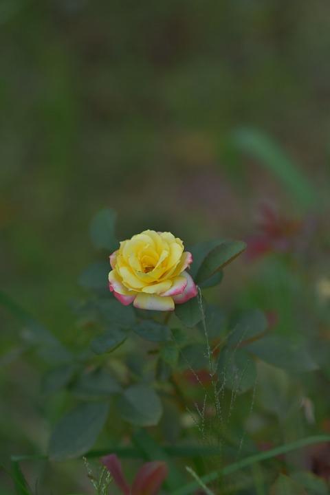 Rose, Flower, Blossom, Bloom, Rose Petals, Flora