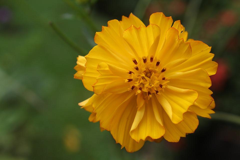 Yellow Flower, Yellow Petals, Bloom, Blossom, Flora