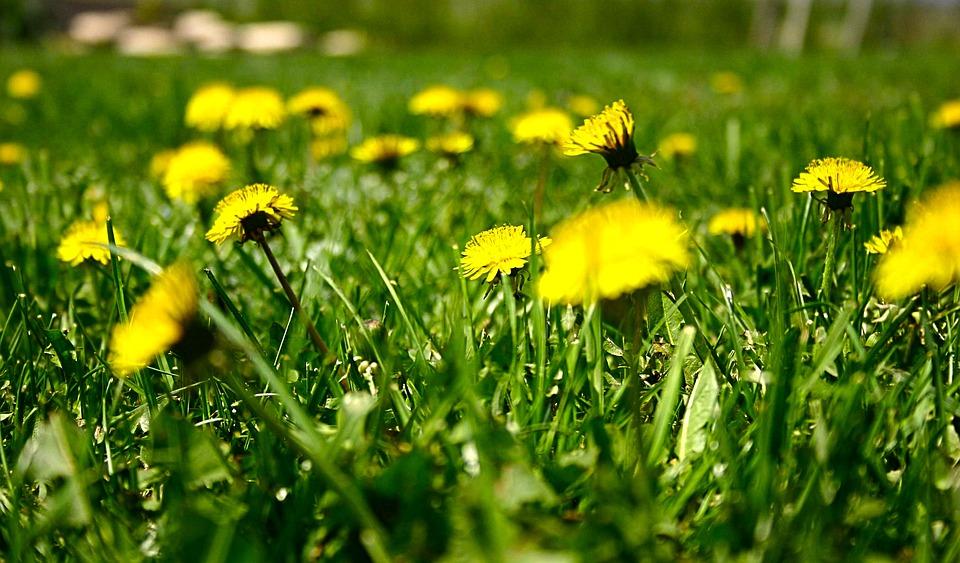 Dandelions, Floral, Plants, Natural, Blossom, Bloom