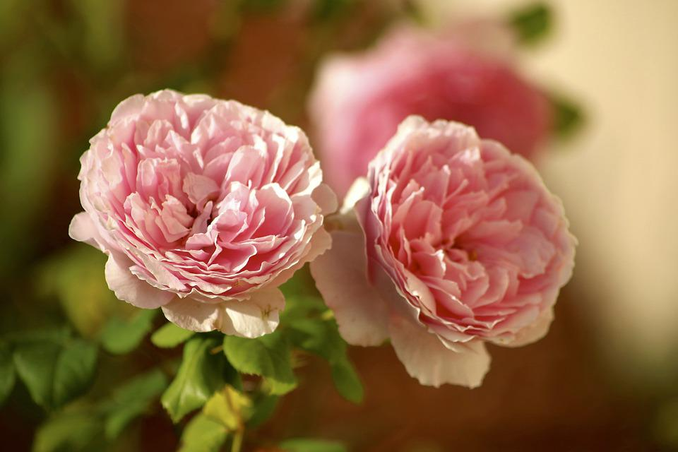 Roses, Pink, Flowers, Bloom, Blossom, Floral, Nature