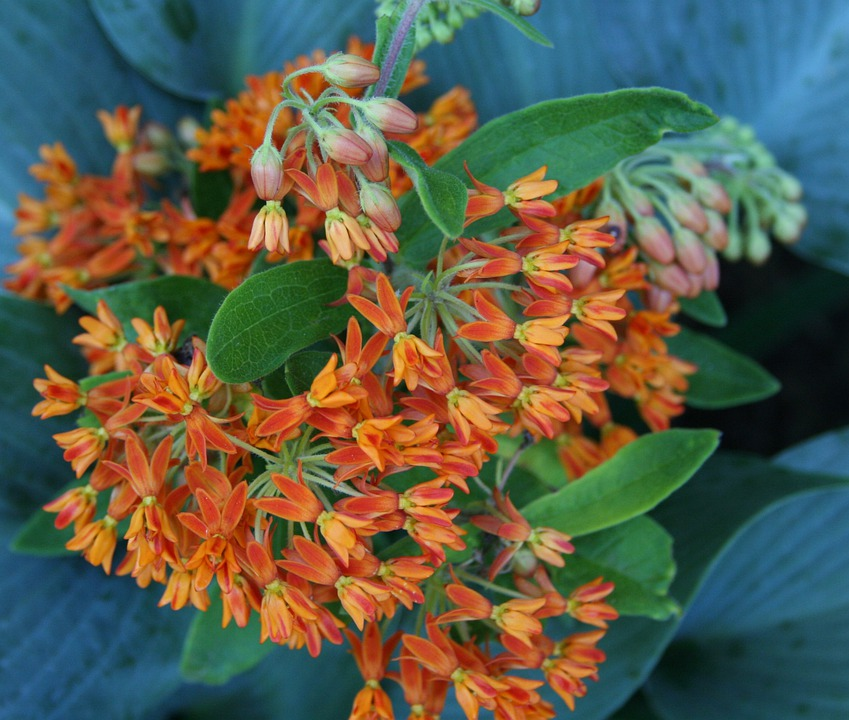 Butterfly Weed, Floral, Plant, Natural, Blossom, Bloom