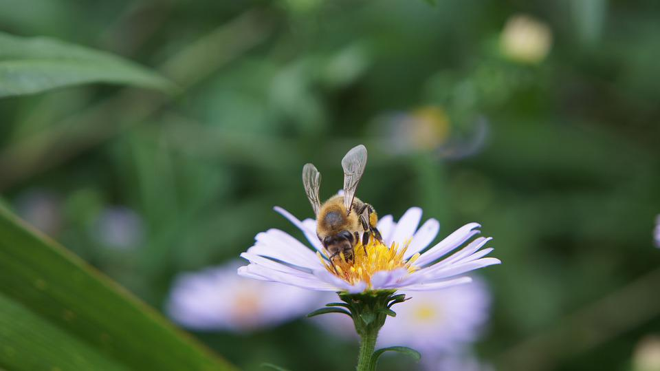 Aster, Astra, Astra Chamomile, Bee, Flower, Blossom