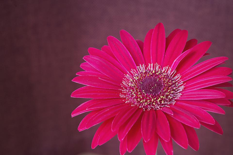 Gerbera, Flower, Blossom, Bloom, Pink, Petals, Close