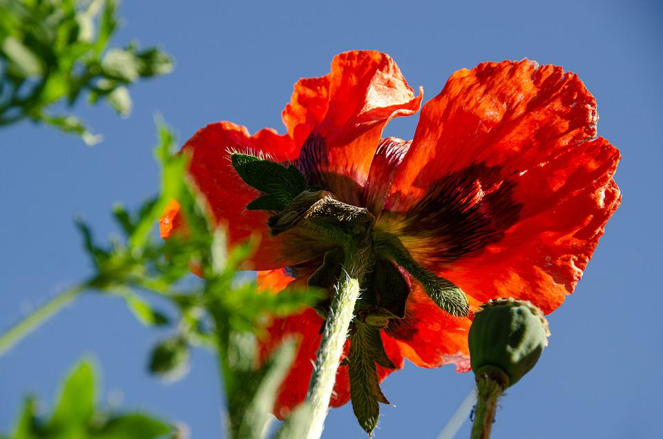 Poppy, Poppy Garden, Blossom, Bloom, Flower