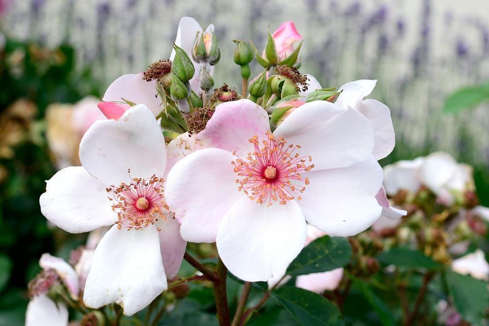 Rose Bloom, Pink, Tender, Rose, Flower, Blossom, Bloom