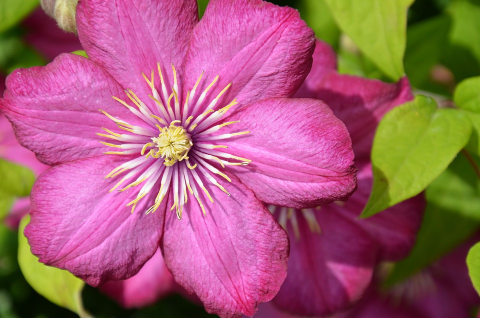 Clematis, Blossom, Bloom, Flower, Plant