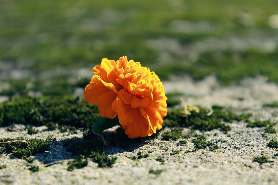 Marigold, Blossom, Bloom, Flower, Decoration