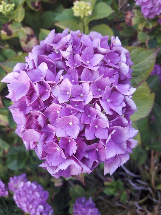Hydrangea, Blossom, Bloom, Bush, Flower, Pink