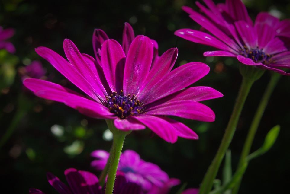 Flower, Plant, Marguerite, Seeds, Blossom, Bloom