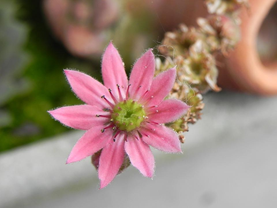 Stone Crop, Pink, Flower, Blossom, Bloom, Plant, Nature