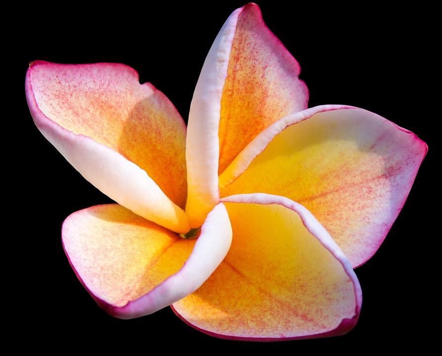 Frangipandi, Blossom, Bloom, Ornamental Flower, Flower