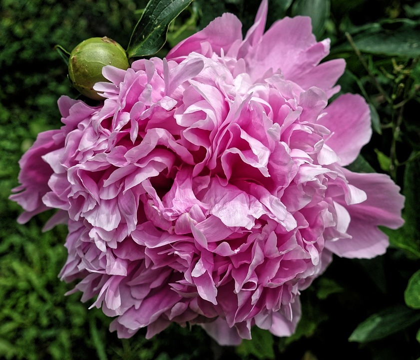 Peony, Flower, Pink, Blossom, Bloom, Nature, Close Up