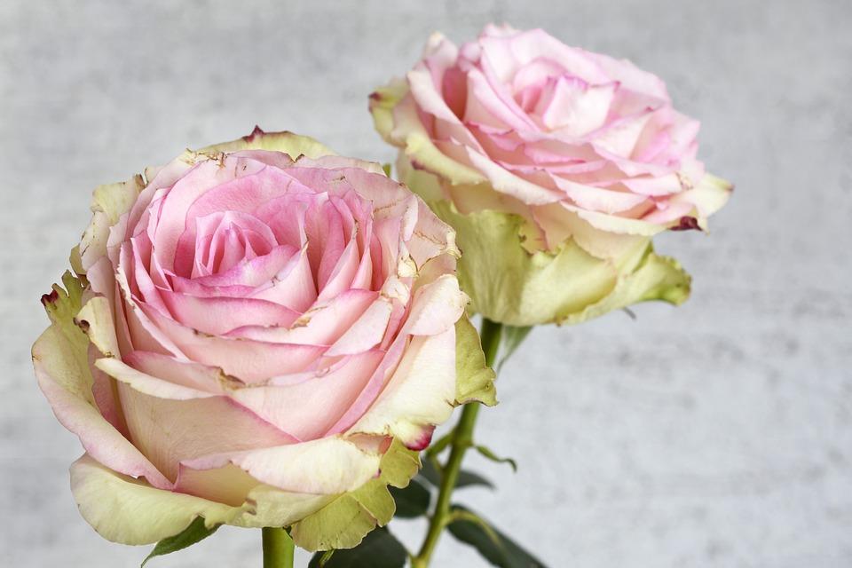 Rose, Blossom, Bloom, Flower, Nature, Pink, Romantic