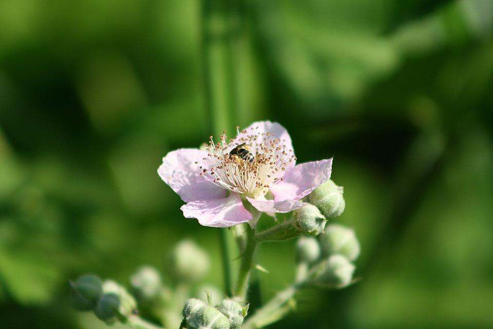 Blackberry, Blossom, Bloom, Bee, Flowers, Flower, Plant