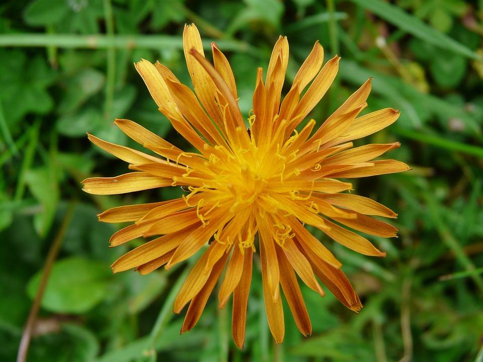 Gold Hawk's Beard, Hawksbeard, Plant, Flower, Blossom