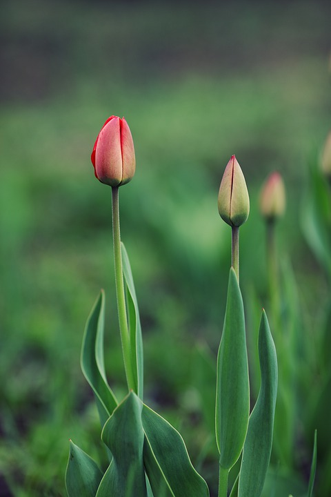 Tulips, Flower, Spring, Plant, Blossom