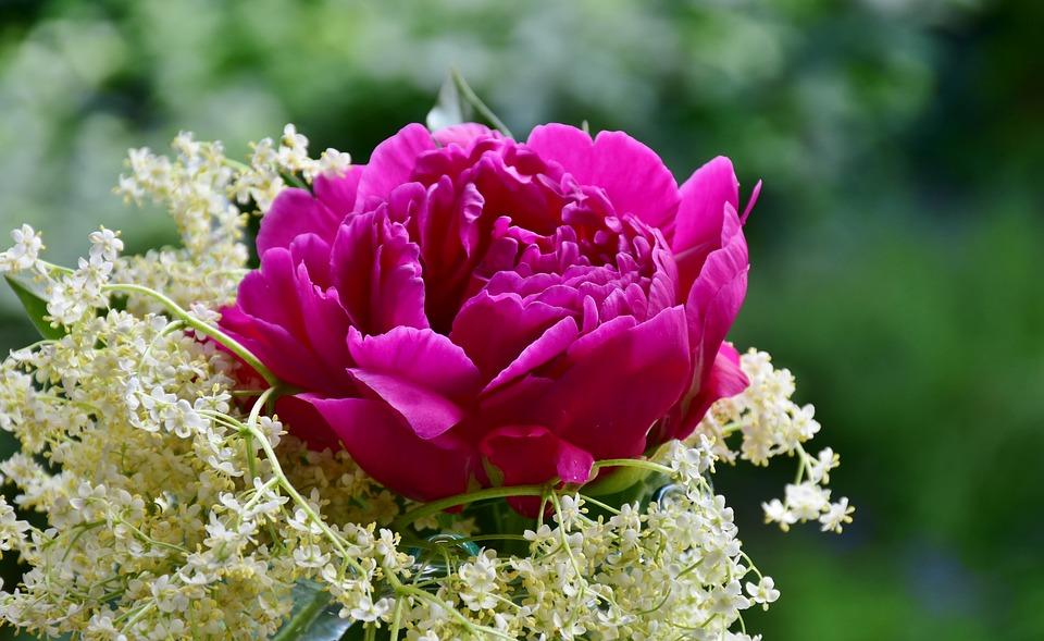 Peony, Rose, Elder, Blossom, Bloom, Flower, Spring