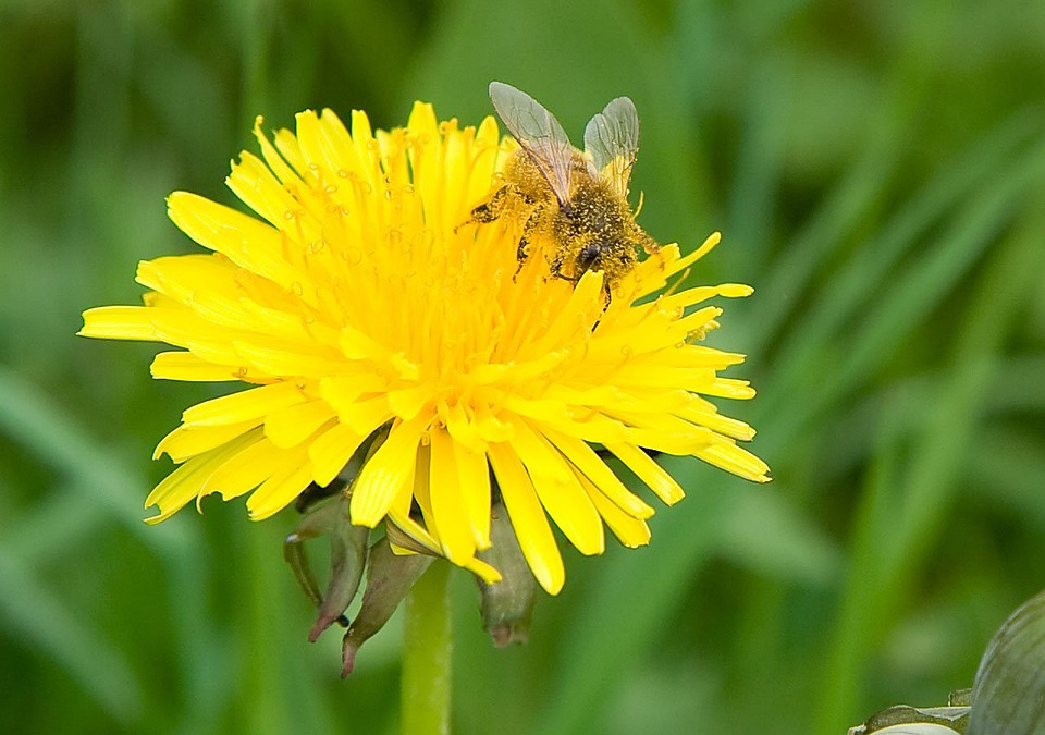 Dandelion, Flower, Blossom, Bloom, Yellow, Spring, Bee