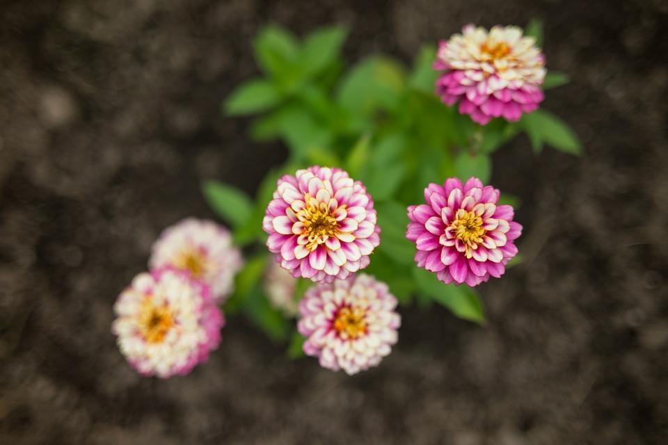 Flower, Pink, Blossom, Bloom, Plant, Spring