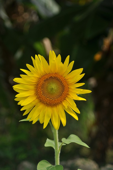 Flower, Sunflower, Nature, Floral, Blossom, Flora