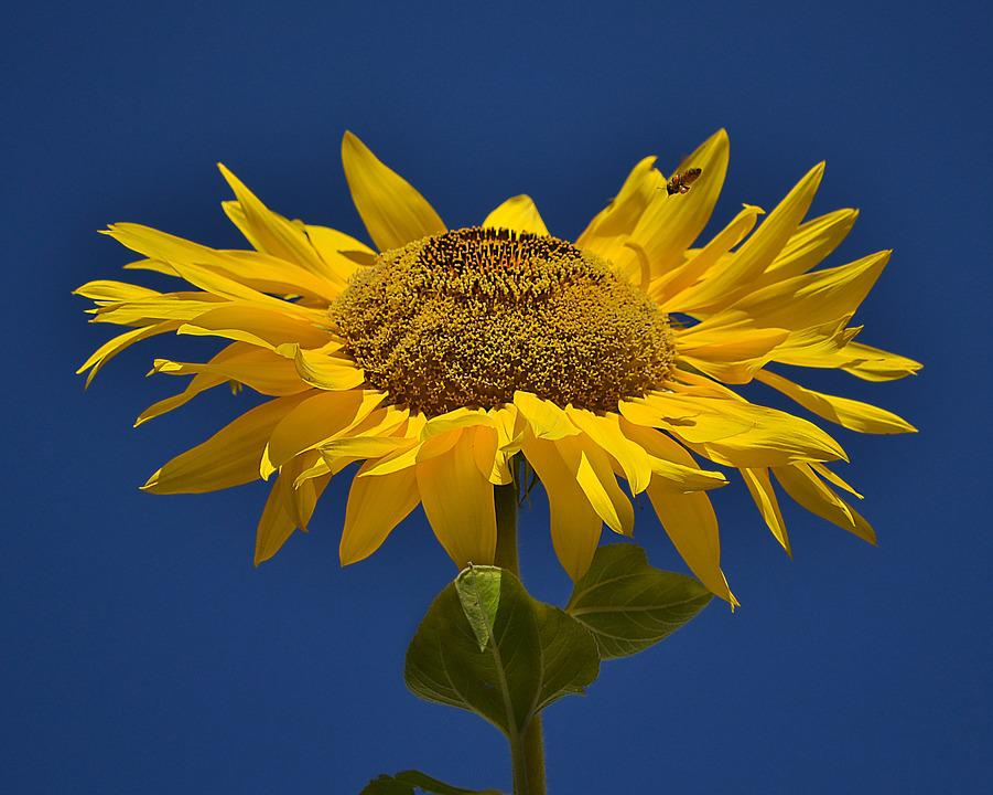 Sunflower, Flower, Yellow, Nature, Sunny, Blossom