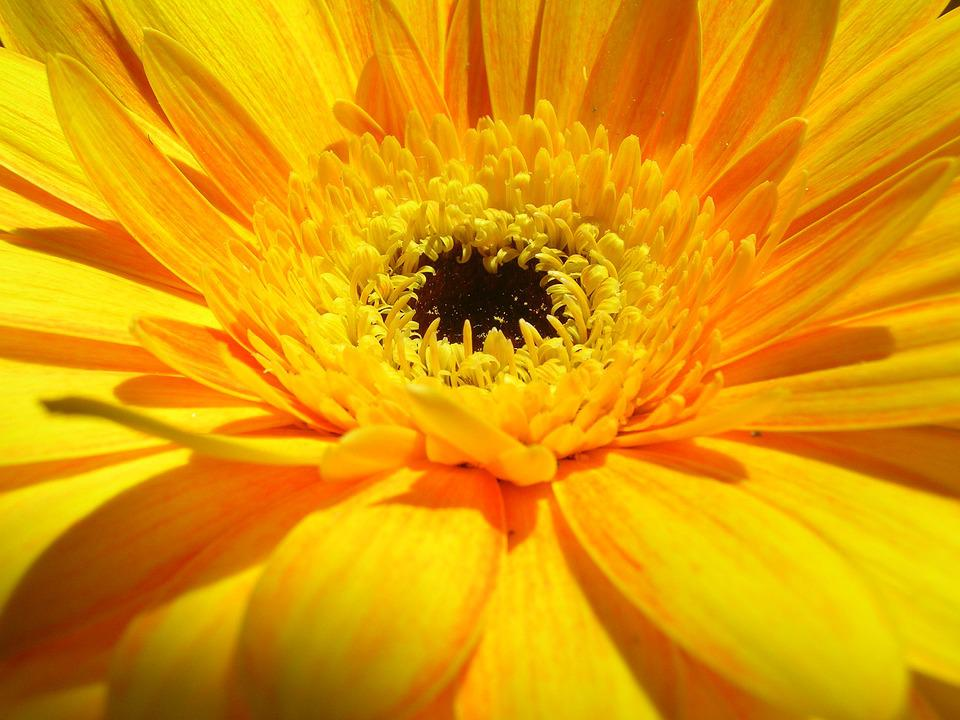 Yellow, Gerbera, Flower, Blossom, Bloom, Nature, Close