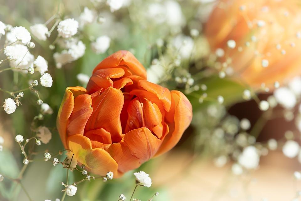Tulips, Flowers, Blossom, Bloom, Bouquet, Gypsophila