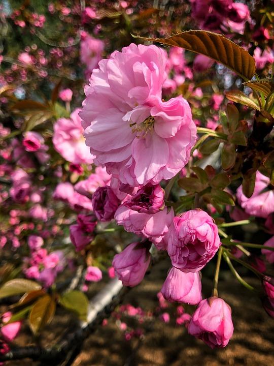 Flowers, Blossom, Spring, Pink, Summer, Botanical