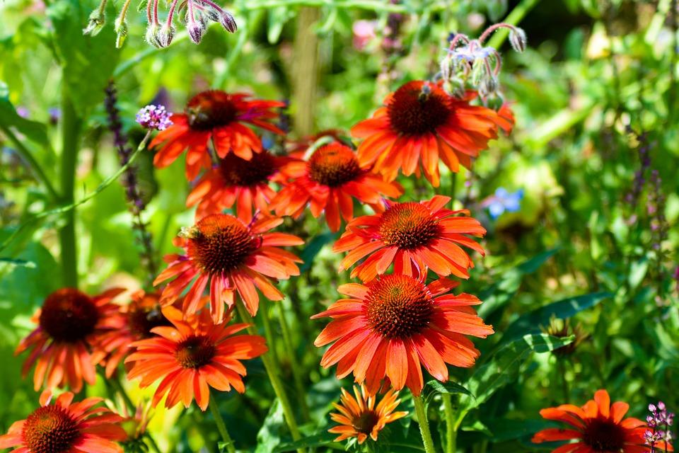 Coneflowers, Flowers, Echinacea, Petals, Bloom, Blossom