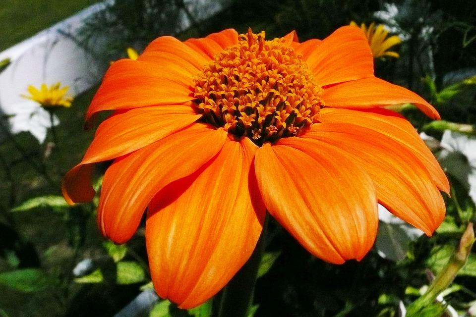 Daisy, Flowers, Blossom, Fresh, Floral, Summer