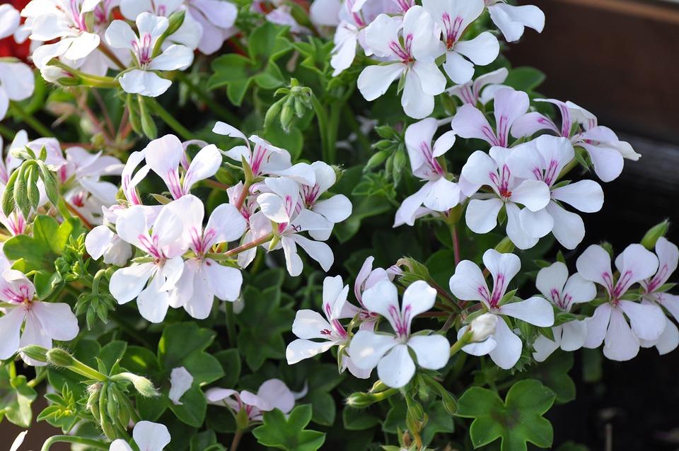 Flowers, Geranium, Blossom, Bloom