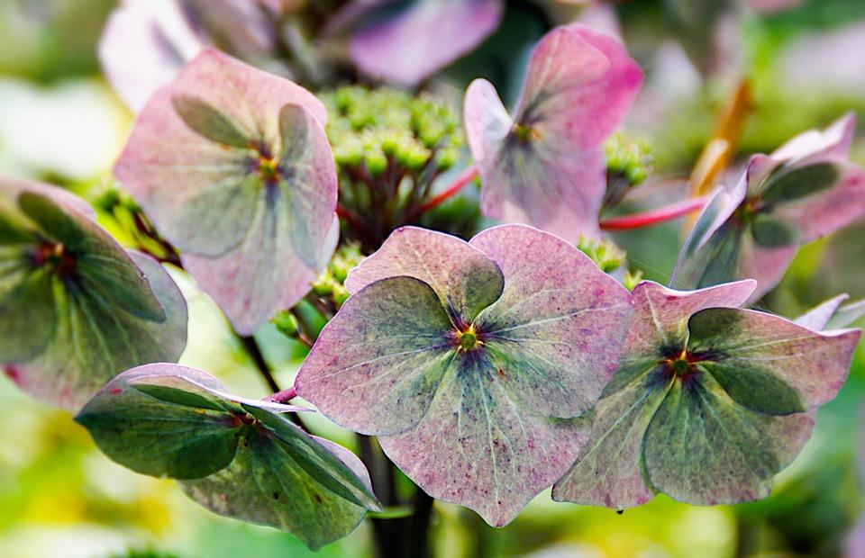 Hydrangea, Flowers, Blue, Blossom, Bloom
