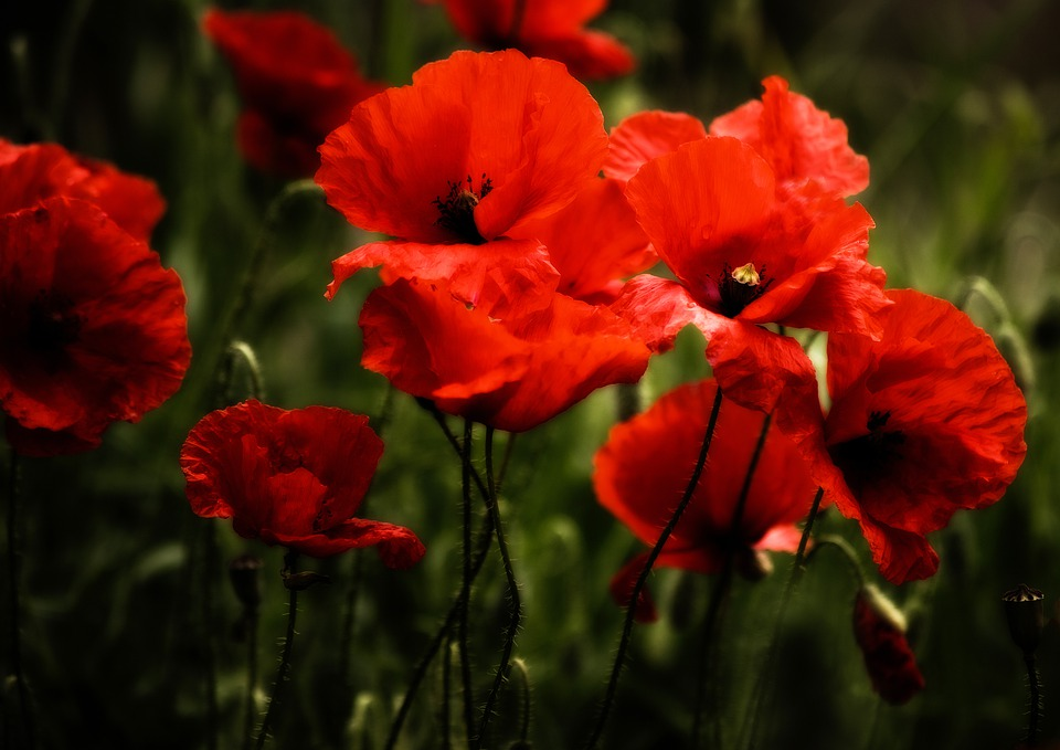 Poppy, Poppies, Klatschmohn, Flowers, Blossom, Bloom