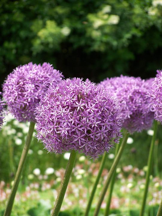 Free photo blossom flowers purple allium bloom pink max pixel allium flowers blossom bloom purple pink mightylinksfo