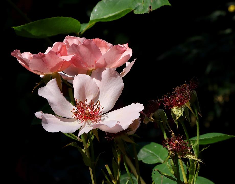 Dog-roses, Flowers, Rosa Caninas, Bloom, Blossom, Flora