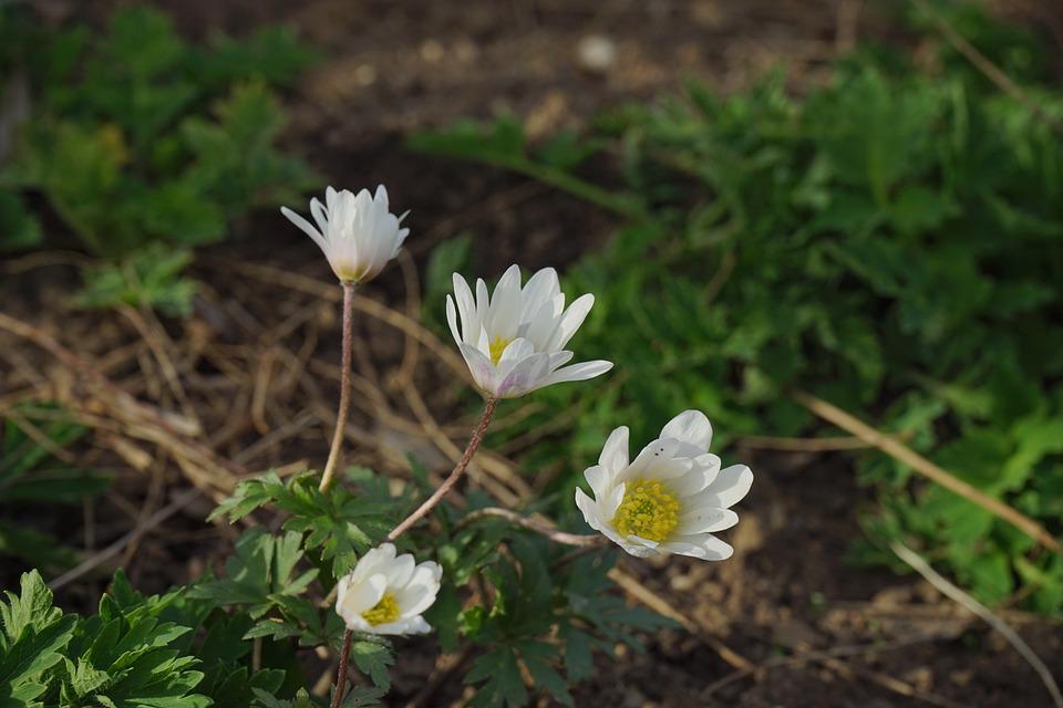 Forest-translucent Poppy, Blossom, Bloom, White, Flower
