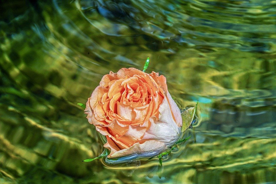 Rose, Blossom, Bloom, Floats, Swim, Water, Fountain
